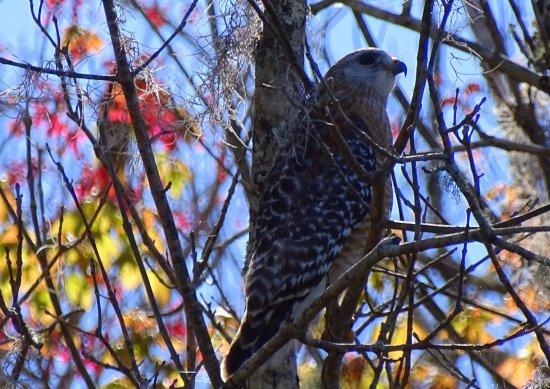 Orange City, FL: Red-shouldered Hawk