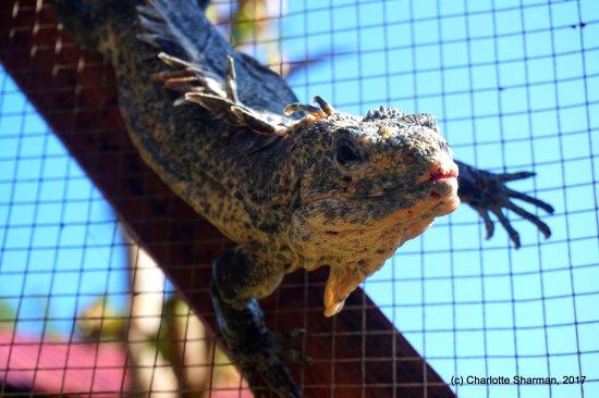 Utila, Honduras: Our iguanas just love to sun-bathe :)