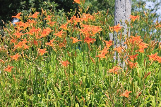 Grimsby, Canada: More wild lilies