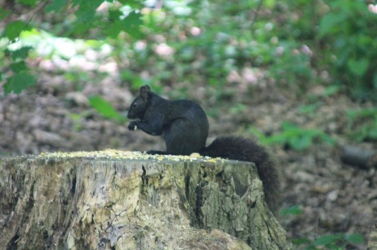 Grimsby, Canada : A black squirrel