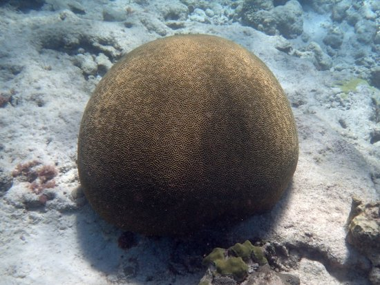 Christiansted, St. Croix: Brain coral on Buck Island snorkeling trail