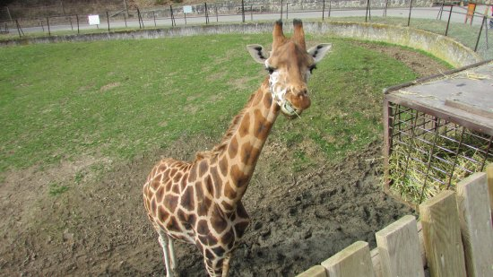 Ardeche, Prancis: Girafe