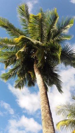 Les Anses d'Arlet, Martinique: sous les cocotiés