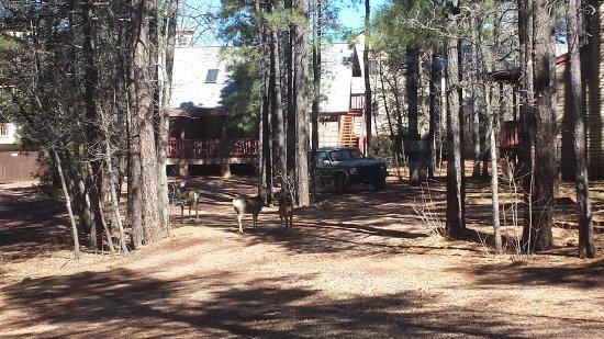Pinetop-Lakeside, AZ: Visiting deer
