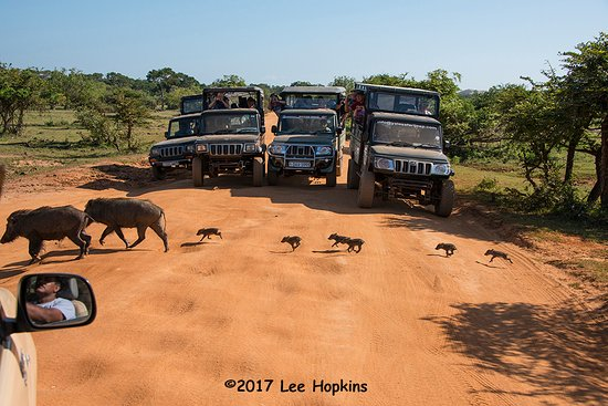 Tissamaharama, Sri Lanka: Yala NP - Wild pigs with babies with the typical LOTS of jeeps!