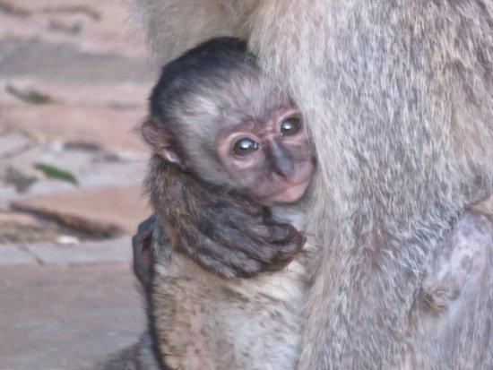 Amboseli Sopa Lodge: Sweet monkeys that roamed the grounds