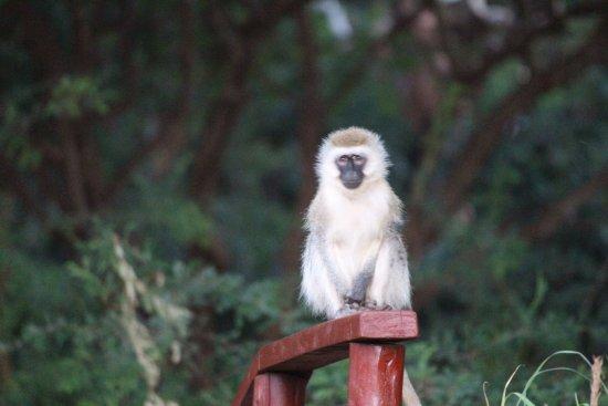 Amboseli Sopa Lodge: More monkeys