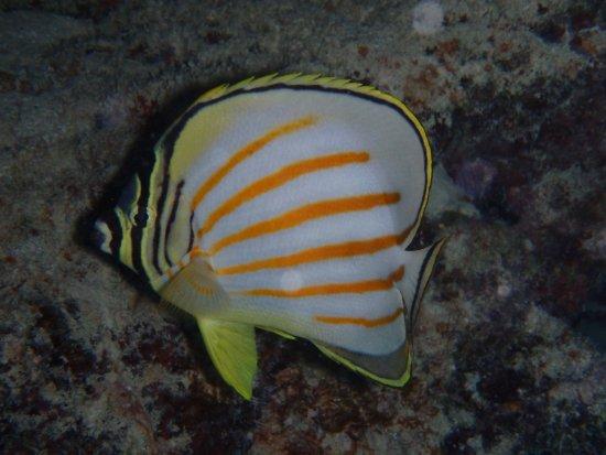 Eleuthera Bora Diving Center: chaetodon orné