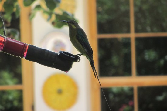 Robertson, Sudafrica: bird drinking in garden