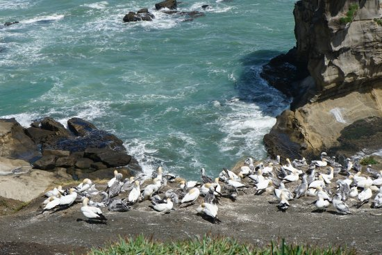 Tour Zealand Tours : Gannett colony