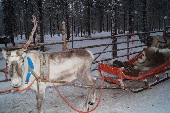 Lapland Hotel Saaga: Balade traineau à rênes