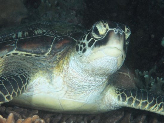 Padangbai, Indonesia: Turtles are a favourite visitor at Padang Bai
