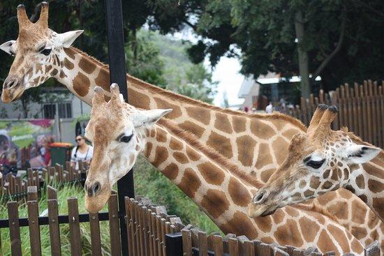 Mosman, Australia: Giraffes.