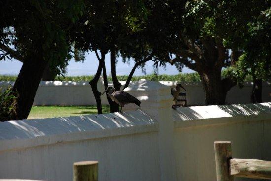 Cap-Occidental, Afrique du Sud : Ibis auf der Mauer