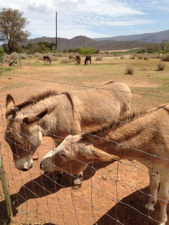 McGregor, Güney Afrika: Some of the donkeys