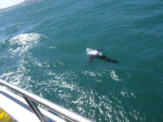 Kleinbaai, แอฟริกาใต้: seal