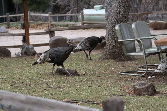 Hereford, AZ: Wild turkeys in Ramsey Canyon Inn yard