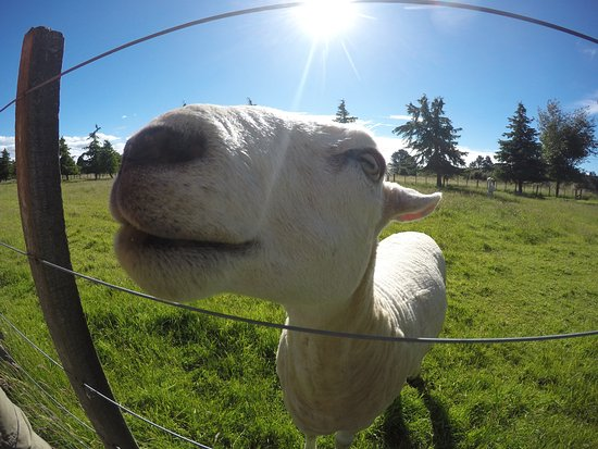 Ohakune, Nueva Zelanda: Friendly sheep.