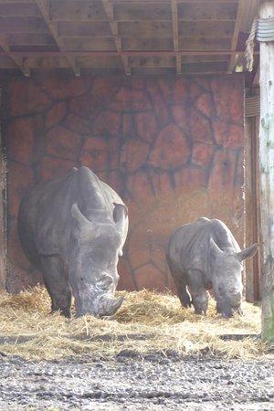 Bewdley, UK: The baby rhino