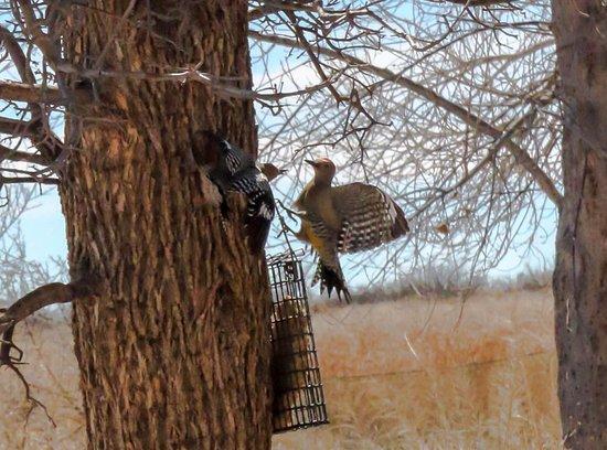 Hereford, AZ: Gila Woodpecker fight