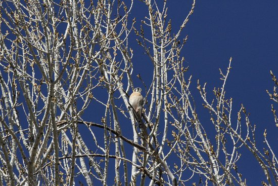 Hereford, AZ: Kestrel