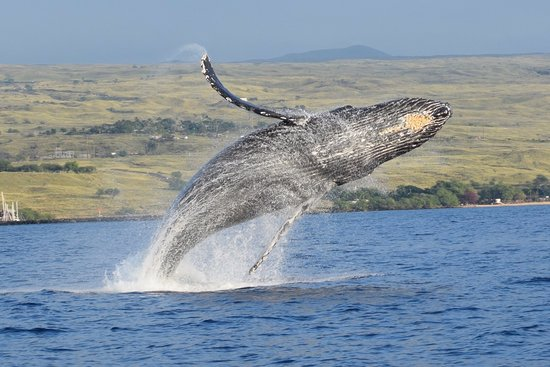 Kawaihae, HI: Breach! A humpback whale near Riva. PC: Michael Faughn