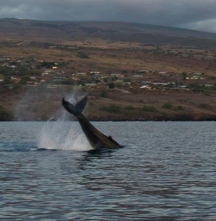 Kawaihae, HI: Humpback tail slap