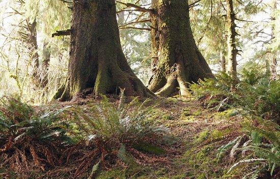 Otis, Орегон: Old-growth spruce forest on Cascade Head