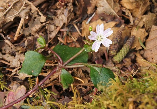 Otis, OR: First Spring Beauty flower on Cascade Head