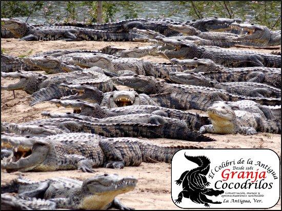 El Colibri de la Antigua Granja de Cocodrilos