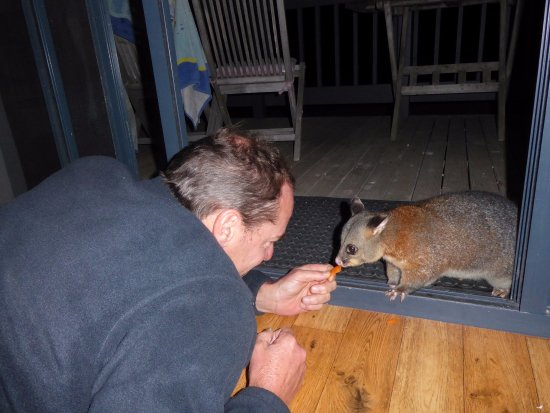 Waves and Wildlife Cottages: Brush-tailed possums love to be hand-fed