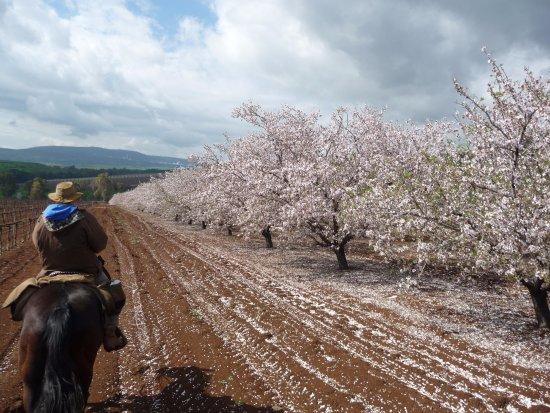 Amirim, Israel: Almond blooming at Sirin Hights