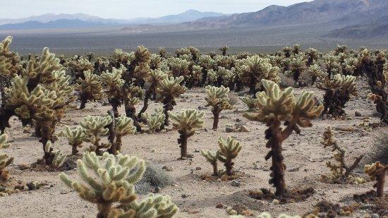 Twentynine Palms, CA: Cholla Cactus garden