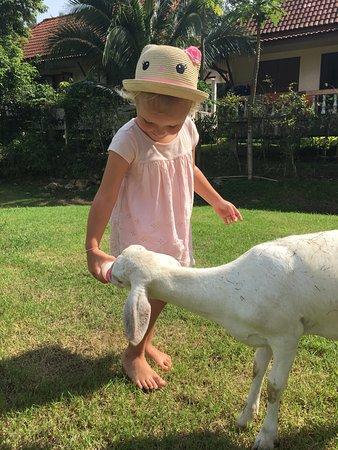 Mae Nam, تايلاند: Ребенок кормит молоком овечку