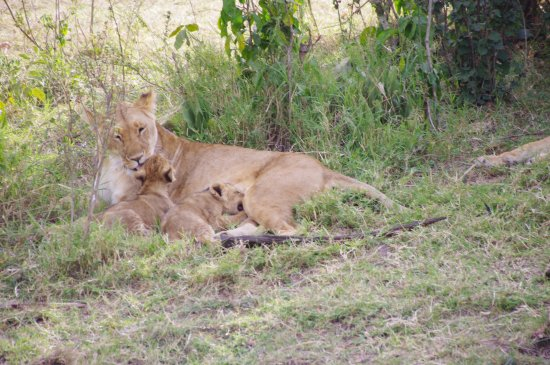 Musiara Swamp: Lioness with cubs