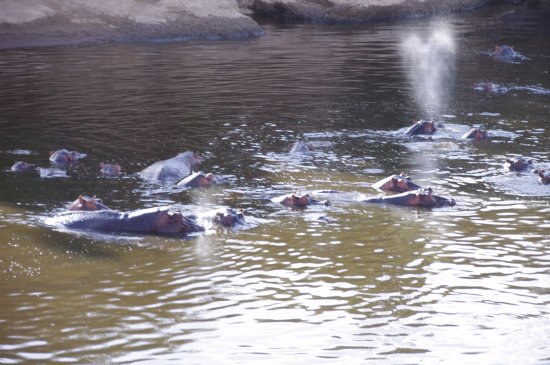 Musiara Swamp: Hippos in the river