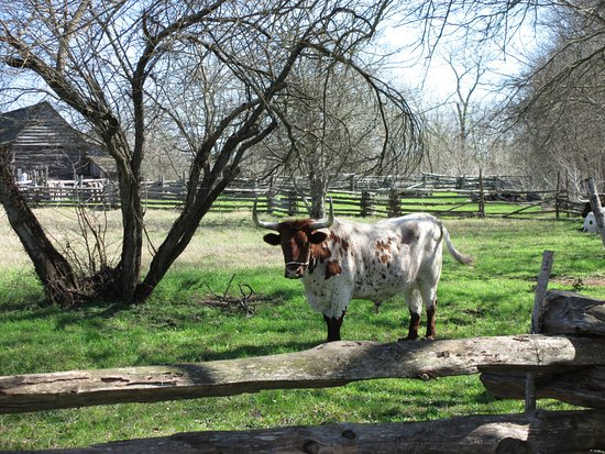 Washington, Teksas: They have 6 longhorns