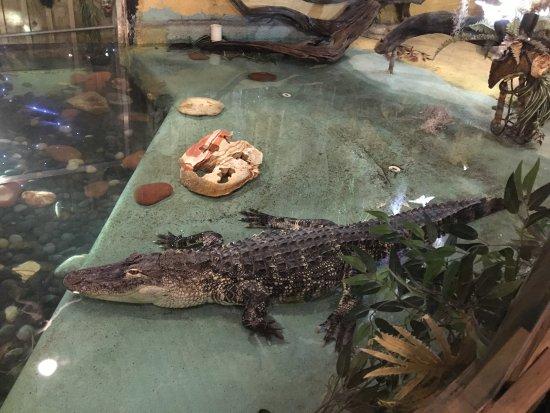 Aligators Vivos Fazem Parte Da Decoração Do Clark S Fish Camp Seafood Restaurant