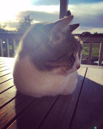 Los Olivos, CA: gatito del viñedo