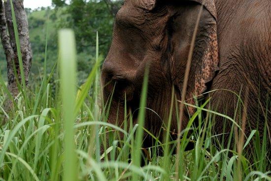 Sen Monorom, Καμπότζη: Sanctuary Elephants close ups.