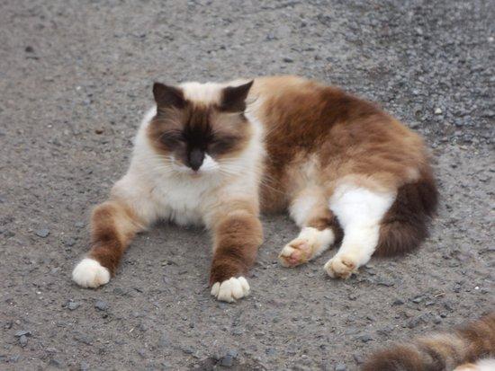 Kaneohe, HI: Buddha Cat