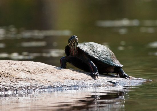 Halcottsville, Nova York: Painted turtles photograph.