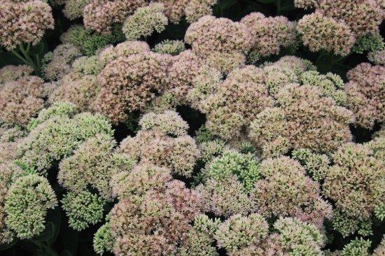 Waterloo Park: Interesting flowers, looks like cauliflower