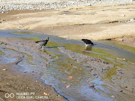 Κόλπος Drake, Κόστα Ρίκα: uccelli