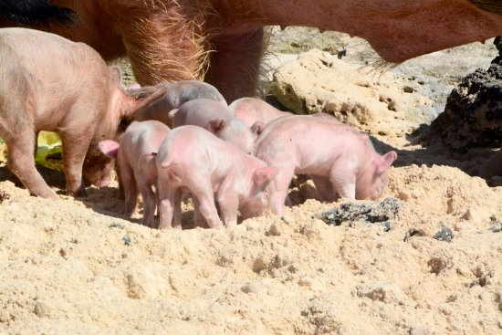 Sandals Emerald Bay Golf, Tennis and Spa Resort: Two day old piglets came out to eat. Sandals Island Routes feeds them twice a day.