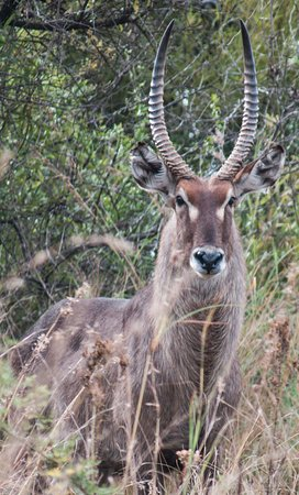 Male Waterbuck photographed in Pilanesberg National Park