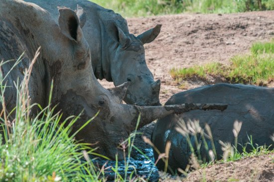 Parco nazionale di Pilanesberg, Sudafrica: White Rhino family photographed in Pilanesberg National Park