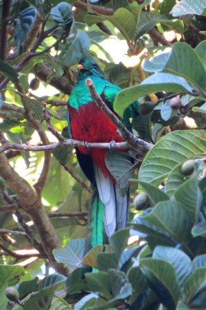 Santa Elena, Costa Rica: Quetzal in wild avocado tree