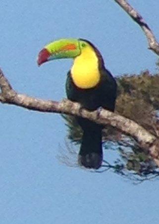 Santa Elena, Costa Rica: Keel-billed Toucan