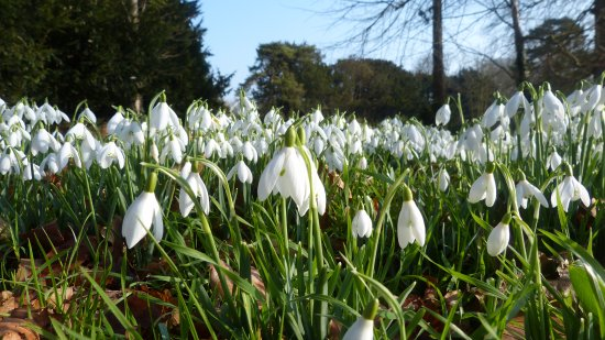 Walsingham, UK: ..snowdrops at ground level..